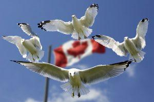Gulls flying in front of the Canadian flag.